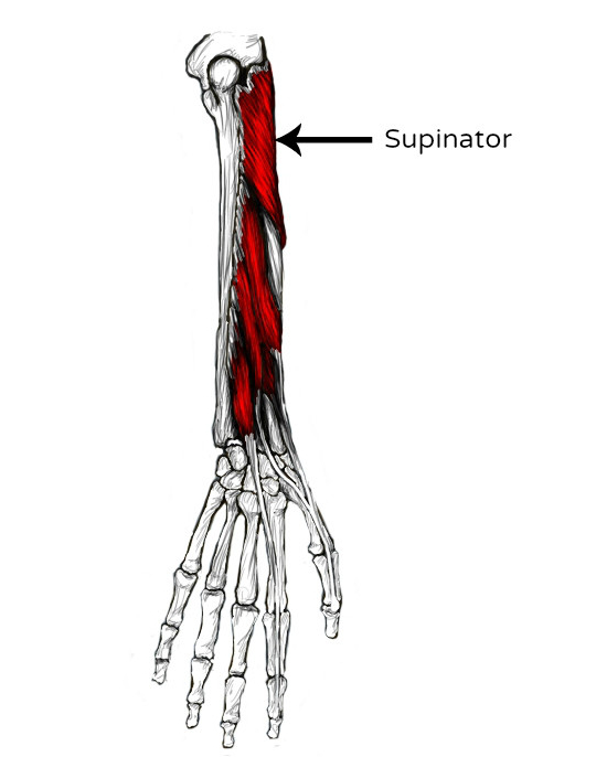 Supinator pain & trigger points